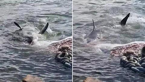 Va vào tầu chết thảm, cá voi bị cá mập xâu xé