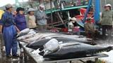 Cán bộ phòng lạnh thay ngư dân học câu cá ngừ kiểu Nhật